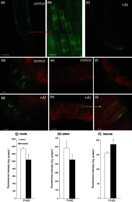 Bio-imaging of NO with a Cu-FL fluorescent probe in potato roots (a–c) and leaves (d, e, g–i) at 48 h after root exposure to 250 μM AlCl3. Images show general phenomena representative of three individual experiments; control of background where the fluorescent probe was omitted (f). Bars indicate 200 μm (d–f), 100 μm (a, c, g, h) and 20 μm (b, i). Measurement of FL-NO fluorescence in extracts of potato roots (j), stems (k) and leaves (l) exposed to aluminum. NO production was assayed spectrofluorimetrically using a selective NO sensor (Cu-FL). FL-NO fluorescence intensity represents mean values for the average of data ± SD of three independent experiments