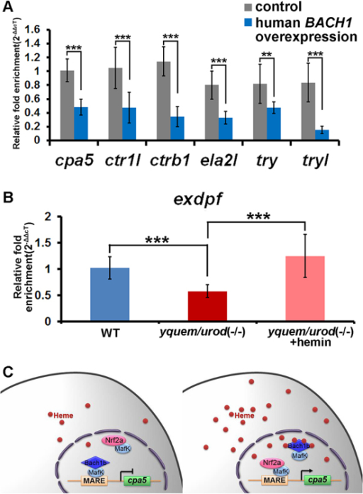 The Regulatory Functions Of Bach1 On Exocrine Zymogens Open I