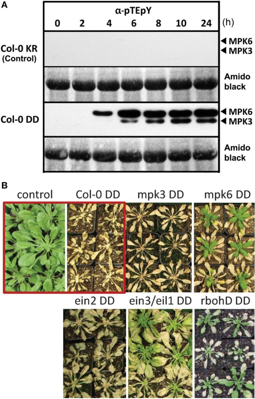 Activation of the MAP kinases, MPK 3 and MPK6, by DEX-inducible expression of a constitutively active MAPK kinase, MKK5. (A) Six week old plants were sprayed with 20 μM DEX to induce expression of a constitutively active MAPK kinase 5, MKK5DD, in Col-0 ecotype background (abbreviated as Col-0 DD). Leaves were harvested at the indicated time points after DEX treatment and used for immunodetection of phosphorylated MAPKs (α-pTEpY). The expected positions of MPK3/6 are marked. Col-0 KR designates the corresponding control plants expressing a kinase-inactive version of MKK5. (B) Prolonged MPK3/6 activation, after DEX treatment, lead to death of the plants—visible as tissue collapse after 24 h. (Note that for some lines, new leaves emerged from the central meristem some days after the DEX treatment). Photos of the plants were taken 2 week after DEX treatment. The core experiment (within red box) compares the Col-0 KR (control) with Col-0 DD (active MKK5DD) lines. Additional transgenic lines expressing the MKK5DD in the indicated mutant background are also included (For detection of phosphorylated MAPKs for these lines, please see Figure S1).
