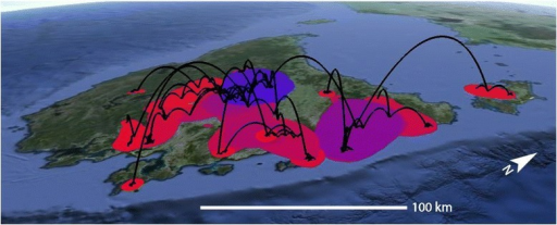 Spatial projection of the relaxed random walk analysis of Niveoscincus ocellatus, based on the maximum clade credibility tree (black lines). Coloured areas reflect the 80 % Highest Posterior Density of the distribution of ancestral branches, with dark blue representing the oldest distribution, and red the youngest