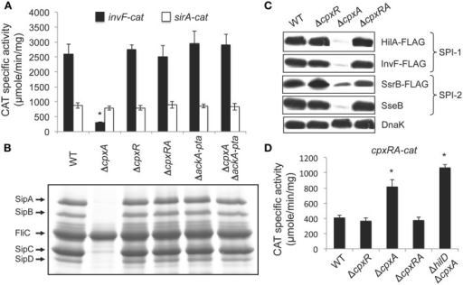 The absence of CpxA represses SPI-1 genes by the activation of CpxR via the AckA and Pta enzymes. (A) Expression of the invF-cat and sirA-cat transcriptional fusions, carried by plasmids pinvF-cat and psirA-cat, respectively, was tested in the WT S. Typhimurium 14028s strain and its isogenic ΔcpxA, ΔcpxR, ΔcpxRA, ΔackA-pta, and ΔcpxA ΔackA-pta mutants. (B) Secretion analysis of the SPI-1-encoded proteins SipA, SipB, SipC, and SipD was tested in the WT S. Typhimurium strain 14028s and its isogenic ΔcpxA, ΔcpxR, ΔcpxRA, ΔackA-pta, and ΔcpxA ΔackA-pta mutants grown for 9 h in LB medium at 37°C. FliC is a flagellar protein whose secretion is SPI-1-independent. (C) Expression of the SPI-1-encoded HilA-FLAG and InvF-FLAG and the SPI-2-encoded SsrB-FLAG and SseB, in the WT S. Typhimurium strain and its isogenic ΔcpxR, ΔcpxA and ΔcpxRA mutants, carrying the respective chromosomal FLAG-tagged gene, was analyzed by Western blotting using monoclonal anti-FLAG or polyclonal anti-SseB antibodies. Whole cell lysates were prepared from samples of bacterial cultures grown in LB medium at 37°C for 5 or 9 h, for detection of SPI-1- and SPI-2-encoded proteins, respectively. As a loading control, the expression of DnaK was also determined using monoclonal anti-DnaK antibodies. (D) Expression of the cpxRA-cat transcriptional fusion, carried by plasmid pcpxRA-cat, was tested in the WT S. Typhimurium 14028s strain and its isogenic ΔcpxR, ΔcpxA, ΔcpxRA, and ΔhilD ΔcpxA mutants. CAT-specific activity of cat fusions was determined from samples collected of bacterial cultures grown for 5 h in LB medium at 37°C. The data are the averages of three different experiments performed in duplicate. Bars represent the standard deviations. *Expression statistically different with respect to that shown by the same fusion in the WT strain.