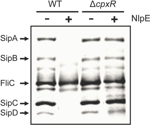 NlpE-mediated activation of CpxA represses SPI-1 through CpxR. Secretion analysis of the SPI-1-encoded proteins SipA, SipB, SipC, and SipD was tested in the WT S. Typhimurium strain and its isogenic ΔcpxR mutant carrying plasmid pCA-NlpE, grown for 9 h in LB medium at 37°C. FliC is a flagellar protein whose secretion is SPI-1-independent. Expression (+) of NlpE from the T5-lac promoter of plasmid pCA-NlpE was induced by adding 50 μM IPTG at the beginning of the bacterial cultures.