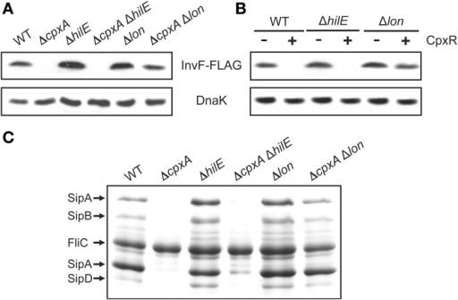Repression of the SPI-1 genes by CpxR is lost in the absence of the Lon protease. Expression of the SPI-1-encoded InvF-FLAG in the WT S. Typhimurium strain and its isogenic ΔcpxA, ΔhilE, ΔcpxA ΔhilE, Δlon and ΔcpxA Δlon mutants (A), or in the WT S. Typhimurium strain and its isogenic ΔhilE and Δlon mutants carrying plasmid pCA-CpxR (C), was analyzed by Western blotting using monoclonal anti-FLAG antibodies. Whole cell lysates were prepared from samples of bacterial cultures grown for 5 h in LB medium at 37°C. As a loading control, the expression of DnaK was also determined using monoclonal anti-DnaK antibodies. Overexpression (+) of CpxR from the T5-lac promoter of plasmid pCA-CpxR was induced by adding 50 μM IPTG at the beginning of the bacterial cultures. (B) Secretion analysis of the SPI-1-encoded proteins SipA, SipB, SipC, and SipD was tested in the WT S. Typhimurium strain and its isogenic ΔcpxA, ΔhilE, ΔcpxA ΔhilE, Δlon, and ΔcpxA Δlon mutants grown for 9 h in LB medium at 37°C. FliC is a flagellar protein whose secretion is SPI-1-independent.