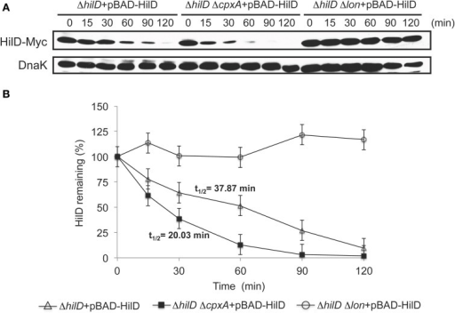 CpxR reduces the stability of HilD. (A) Stability of HilD-Myc was determined in the ΔhilD, ΔhilD ΔcpxA, and ΔhilD Δlon mutants carrying plasmid pBAD-HilD, which were grown in LB medium at 37°C. Expression of HilD-Myc, from the arabinose-inducible promoter of plasmid pBAD-HilD, was induced with 0.05% L-arabinose for 45 min; then, transcription and translation were halted by the addition of a cocktail of antibiotics and glucose, and samples of bacterial cultures were taken at indicated times. HilD-Myc was detected from whole cell lysates of the samples by Western blotting using monoclonal anti-Myc antibodies. As a loading control, the expression of DnaK was also determined using monoclonal anti-DnaK antibodies. A representative Western blot of three independent experiments is shown. (B) Densitometric analysis of the HilD-Myc bands from the Western blots is indicated as the relative percentage of HilD-Myc at each time with respect to time 0. Intensity values of HilD-Myc bands were normalized with those respective of DnaK bands. The data are the averages of three independent experiments. Bars represent the standard deviations and t1∕2 indicates the half-life of HilD.