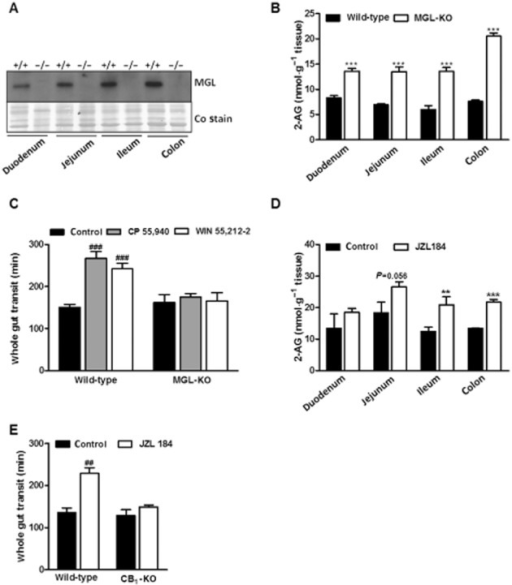 MGL deficiency causes 2-AG accumulation in the intestine and insensitivity to CB receptor agonist treatment. (A) MGL expression in different segments of the intestine. MGL expression was determined in preparations of duodenum, jejunum, ileum and colon of wild-type and MGL-KO mice using a rabbit polyclonal MGL antiserum. The membrane was stained with Coomassie blue (Co) as loading control. (B) 2-AG levels in different segments of the intestine of wild-type and MGL-KO mice. 2-AG was quantified by LC/MS measurement in tissue lipid extracts of overnight fasted mice using 1-heptadecanoyl-rac-glycerol as internal standard. Data are presented as means ± SEM (n = 6 per genotype). (C) Whole gut transit and effect of CB receptor agonists on gut transit in wild-type and MGL-KO mice. Animals were kept in single cages without bedding and fasted overnight. Subsequently, animals were injected i.p. with either carrier solution, CP 55,940 (0.1 mg·kg−1 mouse) or WIN 55,212-2 (1 mg·kg−1 mouse). After 20 min, mice were gavaged with Evans Blue and received free access to food. The time until the appearance of Evans Blue in the faeces was recorded. Data are presented as means ± SEM (n = 12 per genotype for carrier solution and CP 55,940; n = 6 per genotype for WIN 55,212-2). (D) 2-AG levels in different segments of the intestine of wild-type mice treated with JZL184. Data are presented as means ± SEM (n = 3–4 per group). (E) Whole gut transit and effect of JZL184 on gut transit in wild-type and CB1-KO mice. Animals were injected i.p. with either carrier solution or JZL184 (16 mg·kg−1 mouse). Then, Evans Blue was administered and its appearance recorded as in (C). Data are presented as means ± SEM (n = 5–6 per genotype). Statistical differences were determined using Student's unpaired t-test or two-way anova followed by Bonferroni's post hoc test, **P < 0.01 and ***P < 0.001 for comparison of genotypes; ##P < 0.01 and ###P < 0.001 for comparison of treatments.