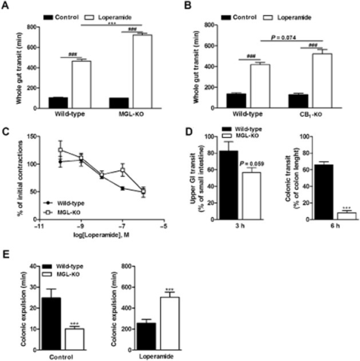 MGL-KO mice are hypersensitive to μ receptor agonist-induced constipation. (A) Effect of loperamide on whole gut transit in wild-type and MGL-KO mice (n = 10 per genotype). Animals were kept in single cages without bedding and fasted overnight. Loperamide (5 mg·kg−1 mouse) or carrier solution were injected i.p. After 20 min, mice were gavaged with Evans Blue and received free access to food and water. The time period until the appearance of Evans Blue in the faeces was recorded. (B) Effect of loperamide on whole gut transit of wild-type and CB1-KO mice (n = 5–6 per genotype). The experiment was performed exactly as in (A). (C) Effect of loperamide on the contractility of ileal segments obtained from wild-type and MGL-KO mice. Explants were incubated in a physiological solution at 37°C and 5% CO2. Contractions were evoked using EFS (8 Hz). EFS-stimulated contractions were determined 20 min after pre-incubation with the indicated concentrations of loperamide (n = 3 per genotype). (D) Upper GI transit and colonic transit in loperamide-treated wild-type and MGL-KO mice. Animals were treated with loperamide and Evans Blue as in (A). After 3 and 6 h, mice were killed and the progression of the marker in the GI tract was determined. Progression of the dye was expressed as % of small intestine (left panel) or colon length (right panel). (E) Effect of loperamide on the colonic propulsion of plastic beads in wild-type and MGL-KO mice. Animals (n = 10 per genotype) were treated with loperamide and Evans Blue as in (A). After 20 min, a 2 mm plastic bead was inserted 2 cm into the colon under mild anaesthesia. Subsequently, the time periods until the appearance of the bead were monitored. Data are presented as means ± SEM. Statistical differences were determined using Student's unpaired t-test or two-way anova followed by Bonferroni's post hoc test, ***P < 0.001 for comparison of genotypes; ###P < 0.001 for comparison of treatments.