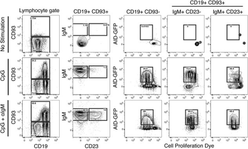 CpG stimulation leads to AID expression in mature, and T1 B cells and CpG+anti‐IgM resulted in the expression of AID in T2 B cells. B cells enriched by negative selection from AID‐GFP mice were cultured in the presence of media alone, CpG, or CpG+anti‐IgM for 3 days. Populations of mature, T1 and T2 B cell subsets were analyzed for their expression of GFP. Representative flow cytometry showing the mature (CD19+CD93−) and immature (CD19+CD93+) B cells on the left panel. Transitional types 1 and 2 B cells were differentiated in the second column by IgM and CD23 expression (T1 = IgM+, CD23− and T2 = IgM+, CD23 +). The right three columns show AID‐GFP expression for the mature B cells (CD19+ CD93−), T1 cells, and T2 cells compared to a cell proliferation dye (n = 3 in two independent experiments).