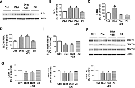 Diet-induced high Hcy upregulates 5LO enzymatic pathway via epigenetic modification. (A) Representative western blot analysis of 5LO protein in brain cortex homogenates from 3xTg mice receiving vehicle (Ctrl), folate and B vitamins deficient diet (Diet), Diet + zileuton, or zileuton. (B) Densitometric analysis of the immunoreactivity to the antibody shown in panel A. (C) Levels of LTB4 measured by a specific and sensitive ELISA assay in brain cortex homogenates from the same four groups of 3xTg mice. (D) Quantitative real time Reverse Transcription Polymerase Chain Reaction (q RT-PCR) analysis of 5LO mRNA in brain cortices of 3xTg mice receiving vehicle (Ctrl), folate and B vitamins deficient diet (Diet), Diet + zileuton, or zileuton. (E) 5LO DNA methylation levels in brain cortices of the 3xTg mice randomized to the same four treatment groups. (F) Representative western blot analyses for DNMT1, DNMT3α, DNMT3β in brain cortices of the same four groups of mice. (G) Densitometric analyses of the immuno-reactivity shown in the previous panel. Data presented are mean ± s.e.m. (*p < 0.05, n = 6). (n = 5 control, n = 6 Diet, n = 6 Diet + zileuton, n = 5 zileuton).