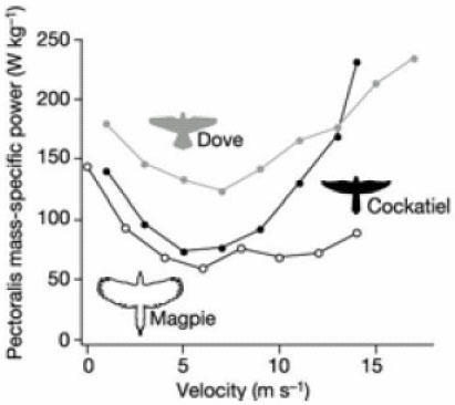 Comparative mass-specific pectoralis power as a function of flight velocity in cockatiels, doves and magpies. Bird silhouettes are shown to scale, digitized from video. These different power curves can be described by equation (1), with different parameters combinations (α,β,γ). Adapted from Tobalske et al. (2003).