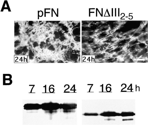 Assembly of FNΔIII2–5. (A) Native pFN and FNΔIII2–5 were added to CHOα5 cells at a concentration of 50 μg/ml and cultured for the indicated times. Fibrils were visualized by indirect immunofluorescence as in Fig. 2. (B) DOC-insoluble material isolated at the indicated times was analyzed under reducing conditions by immunoblotting with IC3 monoclonal antibody. Bar, 10 μm.