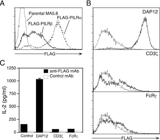 (A) Role of DAP12 in the cell surface expression and signal transduction of PILRβ, FLAG-PILRβ (solid line), and FLAG-PILRα (dashed line) was transfected into the MA5.8 cell line. Parental MA5.8 (dotted line) and the transfectants were stained with anti-FLAG mAb. Mean fluorescence intensities of anti-FLAG mAb staining for parental MA5.8, FLAG-PILRα, and FLAG-PILRβ–transfected cells were 2.93, 27.0, and 369.1, respectively. (B) DAP12, CD3ζ, or FcRγ were transfected into MA5.8-expressing FLAG-PILRβ using the pMx-IRES-GFP retrovirus vector. Transfectants were stained with anti-FLAG mAb and expression of FLAG on GFP-expressing cells is shown (solid line). FLAG expression on a mock transfectant was overlaid in this figure (dotted line). Mean fluorescence intensities of anti-FLAG mAb staining for FLAG-PILRβ–expressing cells transfected with DAP12, CD3ζ, and FcRγ were 1137.7, 56.4, and 33.9, respectively. (C) IL-2 production by MA5.8 cells and MA5.8 transfected with FLAG-PILRβ and DAP12, CD3ζ, or FcRγ and cultured for 1 d in the presence of immobilized anti-FLAG mAb (shaded bar) or control mAb (unshaded bar). IL-2 in the culture supernatants was measured by ELISA.