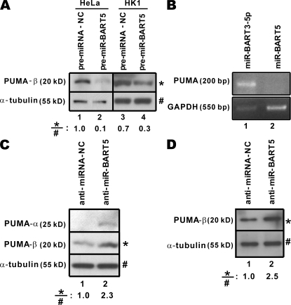 Modulation of PUMA expression by miR-BART5. (A) Down-regulation of PUMA-β protein expression by pre–miR-BART5. Pre–miR-BART5 and pre–miRNA-NC were introduced into HeLa and HK1 cells. Expression of PUMA-β and α-tubulin proteins was analyzed by Western blotting. Relative PUMA-β protein amounts are shown at the bottom. (B) Down-regulation of PUMA mRNA expression by miR-BART5. miR-BART3-5p or miR-BART5 expression vector was transfected into HEK293 cells. PUMA and GAPDH transcripts were analyzed by RT-PCR. (C and D) Up-regulation of PUMA expression by anti–miR-BART5 in C666-1 and AGS/BX1 cells. Anti–miR-BART5 oligonucleotide inhibitor was transfected into miR-BART5–expressing C666-1 cells. Endogenous PUMA-α and PUMA-β proteins were detected by Western blotting. An irrelevant anti-miRNA oligonucleotide (anti–miRNA-NC) was used as a negative control. Relative PUMA-β protein amounts are shown at the bottom.