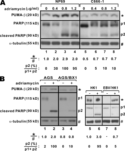 EBV confers resistance to apoptosis. (A) Sensitivity of NP69 and C666-1 cells to adriamycin. EBV− NP69 and EBV+ C666-1 cells were treated with indicated concentrations of adriamycin for 48 h. PUMA-β, PARP and α-tubulin proteins were analyzed by Western blotting. Shown at the bottom are relative expression levels of PUMA-β and percentages of cleaved PARP. (B) Sensitivity of AGS, AGS/BX1, HK1, and HK1/EBV cells to adriamycin. Cells were treated with 1.5 μg/ml (AGS and AGS/BX1 cells) or 1.2 μg/ml (HK1 and EBV/HK1) adriamycin for 48 h. Black lines indicate that intervening lanes have been spliced out.