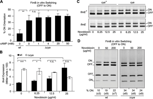 Insights on the mechanism of action of the CRP-cAMP complex in vivo and in vitro.(A) Effect of the addition of cAMP during in vitro OFF to ON recombination. Bacterial extracts were obtained from strains NEC026 (wt) or CMM026 (Δcya) transformed with the inducible fimB expression plasmid (pIB378). Extracts were mixed with the template plasmid pJL-2 in absence or presence of increasing amounts of cAMP (1 to 50 mM final concentration). Mean values and standard deviations of three independent experiments are shown. (B) Effect of increasing amounts of the gyrase inhibitor novobiocin on fimA expression. ß-galactosidase activity was measured from strains CBP198 (wt, black bars) and CMM198 (Δcya, white bars) grown to mid-log phase in LB medium supplemented with 0, 6.25, 12.5, and 25 µg ml−1 novobiocin. Mean values and standard deviations from two independent experiments are shown. (C) Effect of DNA gyrase inhibition on the orientation of the fim invertible element in vivo. Upper panel: ON-OFF diagnostic of the samples used in Fig. 5B, representing the strain CBP198 (fimB+ fimE+) and its cya derivative CMM198 grown in presence of novobiocin (concentrations as indicated). Lower panel: ON-OFF diagnostic of the strain AAEC370A (fimB+ fimE) and its Δcya derivative CMM370A subject to the same growth conditions as in the upper panel. Both panels depict electronically inverted images of the upper half of acrylamide gels after ethidium bromide staining. (D) Effect of DNA gyrase inhibition on FimB-mediated OFF to ON switching in vitro. Increasing amounts of novobiocin (0, 50, 200 µg ml−1) were added to the in vitro recombination reactions. Bacterial extracts from strains NEC026 (wt, left panel) or CMM026 (Δcya, right panel) transformed with the inducible fimB expression plasmid (pIB378) were used together with the template plasmid pJL-2. Mean values and standard deviations in brackets of the estimated percentage of invertible elements in the ON orientation from four independent experiments are given as numbers below each lane. The images correspond to ethidium bromide stained gels from a representative experiment used to obtain the data shown.