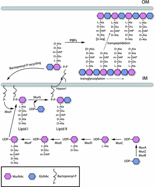 Biosynthesis of peptidoglycan (PG). General scheme of PG synthesis in gram negative bacteria. PG synthesis is initiated with the synthesis of the disaccharide pentapeptide precursors in the cytosol (GlcNAc-MurNAc-l-Ala-d-Glu-DAP-d-Ala-d-Ala) [42]. Then, PG precursors are translocated to the periplasmic space facilitated by the formation of lipidic complexes with bactoprenol [43, 44]. Once in the periplasm, PG monomers are incorporated into the murein polymer by transglycosylation and transpeptidation reactions carried out by the activity of the penicillin-binding proteins (PBPs) [45–48]. Also PBP activities (murein hydrolases) can affect the length of the stem peptides, depicted as d-Ala between brackets [43]. IM Inner membrane, OM outer membrane
