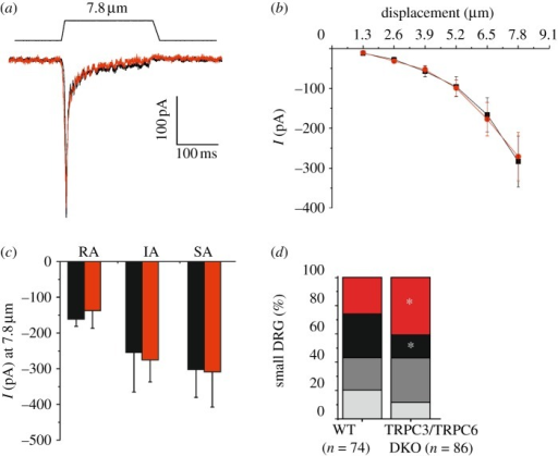 Electrophysiological characterization of sensory neurons of TRPC3/TRPC6 DKO mice. (a) Exemplar whole-cell voltage clamp trace from a large-diameter (narrow action potential) mouse DRG neuron in response to a 7.8 μm membrane deformation (holding potential −70 mV). All large-diameter neurons responded with a rapidly adapting current (black line, WT; red line, TRPC3/TRPC6 DKO). (b) The stimulus response curve of mechanically evoked peak currents in large-diameter WT (n = 12, black squares) and TRPC3/TRPC6 DKO (n = 12, red circles) mouse DRG neurons with action potential widths less than 1 ms voltage clamped at −70 mV. (c) The magnitude of currents evoked by a 7.8 μm stimulus in small-diameter DRG neurons with action potential width more than 1 ms (holding potential −70 mV) (black bars, WT; red bars, TRPC3/TRPC6 DKO). (d) Small-diameter DRG neurons had mechanically activated currents which could be classified based on their adaptation kinetics to a static mechanical stimulus: rapidly adapting (RA), intermediately adapting (IA), slowly adapting (SA). The proportion of small-diameter mouse DRG neurons expressing each current type from WT and TRPC3/TRPC6 DKO mice is shown. A significant reduction in the number of neurons displaying RA currents and an increase in number of non-responsive neurons was observed in TRPC3/TRPC6 DKO mice (χ2-test, p < 0.05) (red, no response; black, RA; dark grey, IA; light grey, SA).