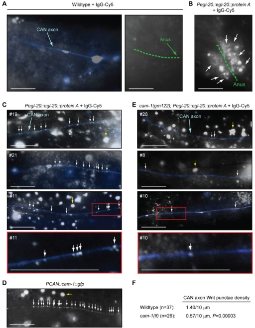 EGL-20/Wnt co-localizes with posterior CAN axons in vivo, in a Ror/CAM-1-dependent manner.CAN axons were visualized with the integrated Pceh-23::gfp transgene (kyIs4) (A–C and E), and EGL-20/Wnt was detected with the integrated Pegl-20::egl-20::protein A fusion transgene (huIs60) and injection of Cy5-conjugated rabbit IgG (IgG-Cy5) into living adult animals (B, C, and E). (A–C and E) The Cy5 channel is shown, as well as an overlay of the GFP channel, where the posterior CAN axon has been pseudo-colored blue. White arrows point to examples of EGL-20/Wnt punctae, and yellow arrows point to examples of variable background autofluorescence. In (C) and (E), numbers in the panels denote particular injected animals. Bottom panels are enlargements of red-boxed sections in the indicated animals. (D) Clustering of Ror/CAM-1 in the posterior CAN axon. Ror/CAM-1 was visualized as a functional translational GFP fusion from an extrachromosomal transgenic array (PCAN::cam-1::gfp; dyEx44) in animals that also carried an egf/lin-3(lf) mutation. Scale bars are 10 µm. (F) 37 independent measurements from 32 wild-type animals, and 26 independent measurements from 19 ror/cam-1 mutants were used to calculate the mean EGL-20/Wnt density along the posterior CAN axon. p-Value was calculated using a two-tailed Mann-Whitney U test versus wild-type animals.