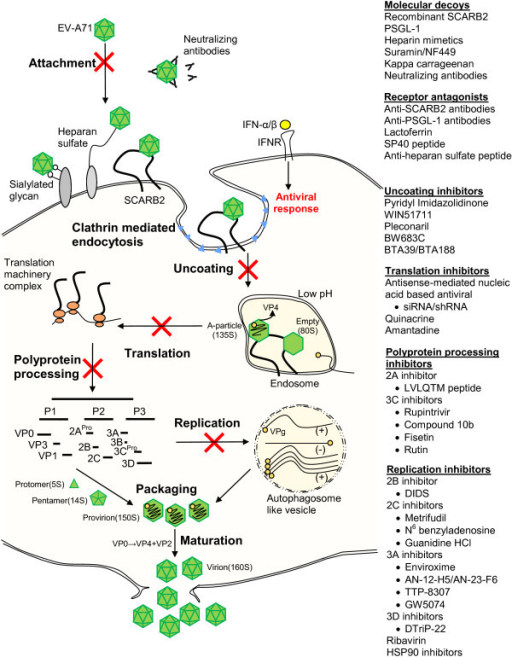 Schematic illustration of EV-71 intracellular infection and summary of the antiviral agents. The antiviral agents are classified according to their mechanism of actions, which include molecular decoys, receptor antagonists, uncoating inhibitors, translation inhibitors, polyprotein processing inhibitors and replication inhibitors.