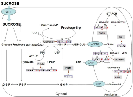 the enzymic synthesis of starch essay Digestive system processes pancreatic juices also contain amylase, which continues the breakdown of starch and glycogen into maltose and other disaccharides.
