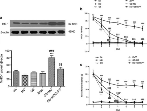HO-1 antagonist zinc protoporphyrin reversed the gabapentin-induced upregulation of heme oxygenase-1 (HO-1) expression and potentiated the anti-nociceptive effect of morphine in gabapentin/morphine-co-injected SNL rats. a Western blotting analysis of HO-1 in the rat spinal dorsal horns. β-actin was used as the loading control. The relative band densities for HO-1 after different treatments. Time course of tail–flick test (b) and Von Frey latencies (c) in SNL rats. The maximum anti-nociceptive effect of morphine occurred on days 1–2. From days 4–7, there was no difference between the morphine and saline-treated animals. When gabapentin was co-administered with morphine, it prevented morphine tolerance. In addition, ZnPP partially reversed the potentiating effect of gabapentin on morphine in SNL rats (n = 6, each). *p < 0.05, ***p < 0.001 compared with the saline group; ###p < 0.001 compared with the morphine-injected group; $p < 0.05, $$p < 0.01 $$$p < 0.001 compared with the gabapentin/morphine-injected group
