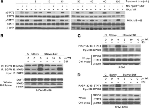 Withacnistin inhibits EGF- and IL-6-stimulated EGFR and gp130 receptor recruitment and subsequent tyrosine phosphorylation of STAT3 and STAT5. (A) MDA-MB-468 cells were serum starved for 48 h and pretreated with Wit for the indicated times then stimulated with EGF at 100 ng ml−1 for 10 min. Cells were then harvested and run for western blot analysis as described under Materials and Methods. (B) MDA-MB-468 cells were serum starved for 24 h and pretreated with Wit at increasing concentrations for 5 min, and then stimulated with EGF at 100 ng ml−1 for 30 min. Cells were then harvested and run for co-immunoprecipitation analysis as described under Materials and Methods. (C) U266 and (D) RPMI 8226 cells were serum starved for 24 h and pretreated with Wit for 5 min, and then stimulated with IL-6 at 10 ng ml−1 for 30 min. S3I designates S3I-1757, a control STAT3–EGFR association inhibitor. 'C' designates non-starved cells growing in 10% serum. The data in A–D are representative of three independent experiments each.