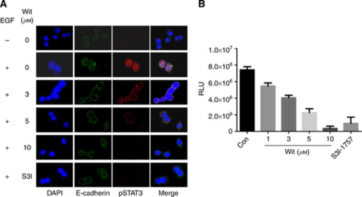 Withacnistin inhibits P-STAT3 nuclear translocation and STAT3–DNA-binding activity. (A) MDA-MB-468 cells were cultured on cover slides overnight, serum starved for 24 h, pretreated with Wit at the indicated concentration for 2 h, and then stimulated with EGF at 100 ng ml−1 for 30 min. The cells were fixed using methanol for immunofluorescence analysis as described in Materials and Methods. (B) MDA-MB-468 cells were treated with either vehicle or Wit for the indicated time and the nuclear extracts were isolated from the treated cells as described in Materials and Methods. The nuclear extracts were then incubated with a biotin-labelled STAT3–DNA binding probe and the complexes were isolated using a STAT3–DNA-binding assay as described under Materials and Methods. The data in A and B are representative of two and three independent experiments.