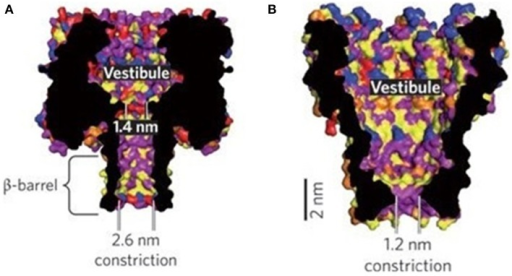 Nanopore structures of α-HL (A) and MspA (B) (Venkatesan and Bashir, 2011). Reproduced by copyright permission of Nature Publishing Group.
