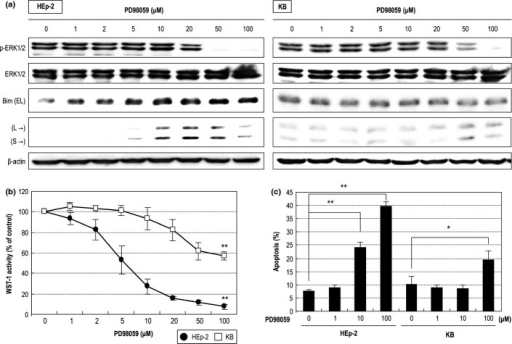 Effect of the MEK inhibitor PD98059 on head and neck squamous cell carcinoma (HNSCC) cells. (a) Phosphorylation states of ERK1/2 after treatment with PD98059. (b) Effect of PD98059 on proliferation of HNSCC cells. (c) Apoptosis analysis by an Annexin V in HNSCC cells. *P < 0.05, **P < 0.01.