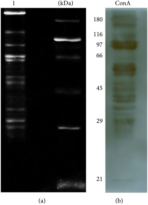 SDS-PAGE assay of the glycoproteins from Ae. aegypti SG protein extracts. (a) Total carbohydrates stained with Pro-Q Emerald, where the molecular weights are shown on the right. (b) Western blot assay using ConA lectin, which binds to glycoproteins that contain mannose or glucose residues.