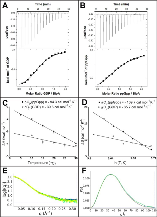 ITC and SAXS analysis of nucleotide binding to BipA.A and B, isothermal titration calorimetry curves of BipA titrated with GDP (A) and ppGpp (B) after correction of the dilution effect of nucleotides. C, enthalpy change for the GDP (open circles) and ppGpp binding (filled circles) to BipA as a function of temperature (°C). D, entropy change for the GDP (open circles) and ppGpp binding (filled circles) to BipA as a function of the logarithm of temperature in Kelvin. The heat capacity change (ΔCp) value from the enthalpy (C) is similar to that obtained from entropy (D). E, the unique scattering profiles of the apo BipA, in yellow, BipA with bound GDP, in green, and BipA with bound ppGpp, in blue, are shown with intensity (I), plotted against the photon momentum transfer (q). F, the P(r) distribution functions of apo BipA, in yellow, BipA with bound GDP, in green, and BipA with bound ppGpp, in blue, are depicted.