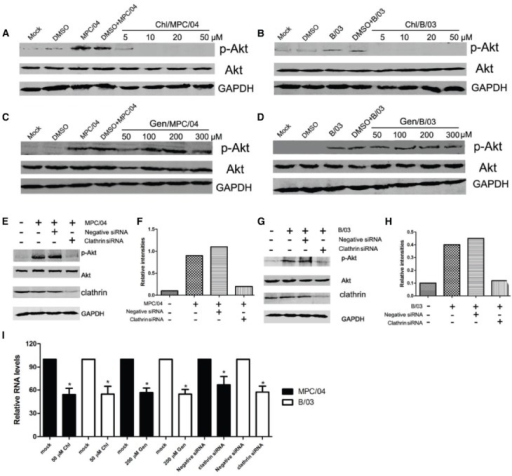 Role of clathrin-mediated endocytosis in the activation of PI3K/Akt early in infection. Serum-starved A549 cells were pretreated with various concentrations of chlorpromazine (Chl; 5–50 μM) and genistein (Gen; 50–300 μM) for 30 min, and the cells were then infected with MPC/04 (A,C) and B/03 (B,D) at a MOI of 5. A mock-infected lane was included in each panel as a negative control. After 30 min p.i., the cell lysates were collected and separated by SDS-PAGE. The levels of p-Akt (Ser473), total Akt and GAPDH were determined by Western blot analysis as detailed in Methods. (E,G) A549 cells were transfected with 15 pmol/well of negative control (Negative siRNA) or clathrin siRNA. 24 h after transfection, cells were infected with MPC/04 (E) or B/03 (G) at a MOI of 5. After 30 min, the cell lysates were collected and separated by SDS-PAGE. The levels of p-Akt (Ser473), total Akt, clathrin and GAPDH were determined by Western blot analysis. (F,H) Quantification of relative p-Akt band intensities to Akt in (E) and (G). The results were confirmed in three independent experiments. (I) A549 cells pretreated with 50 μM Chl or 200 μM Gen for 1 h or transfected with 15 pmol/well of negative control (Negative siRNA) or clathrin siRNA for 12 h were infected with MPC/04 or B/03 at a MOI of 5. Viral RNA levels were determined at 24 h post infection. The data shown in I represent the results of three independent experiments. *p < 0.05. Error bars indicate SD.