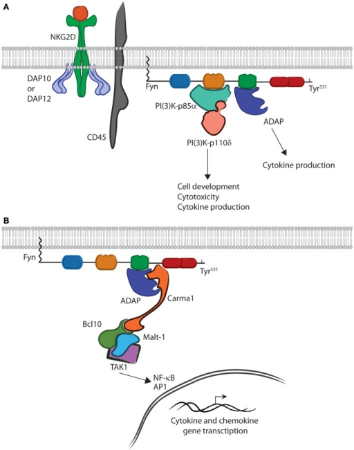 Fyn is capable of activating divergent signaling cascades. (A) In the active conformation, the SH2 and SH3 domains bind downstream effectors and activate divergent signaling cascades in lymphocytes. The interaction between PI(3)K-p85α and the SH3 domain of Fyn controls multiple aspects of lymphocyte effector functions. The SH2 domain of Fyn binds ADAP via the YDGI motif following tyrosine phosphorylation by Fyn. This stabilizes ADAP and initiates a unique set of lymphocyte functions, such as cytokine production. (B) ADAP translocation and stabilization leads to CBM complex formation. Carma1 binds to ADAP and initiates the recruitment of Bcl10 and Malt1. This leads to TAK1 binding and activation of its kinase activity. TAK1 then activates NF-κB or AP-1. Once activated, NF-κB and AP1 translocate to the nucleus where they induce transcription of cytokine and chemokine genes.
