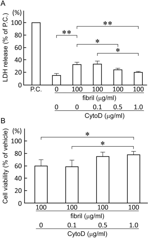 Inhibition of endocytosis by cytochalasin D attenuates the toxicity of β2-m amyloid fibrils.HIG-82 cells preincubated with Ham's F12 medium containing 0 to 1.0 μg/ml cytochalasin D (CytoD) for 2 hrs, were incubated with the medium containing vehicle buffer or 100 μg/ml β2-m fibrils in the presence of CytoD for 2 days. LDH releasing assay (A) and MTT reduction assay (B) were performed as described in Materials and Methods. Data normalized to positive control and vehicle in LDH releasing assay and MTT reduction assay, respectively, were presented as mean ± SD of three independent experiments. Statistical analysis was performed by Student's unpaired t-test. *P < 0.05, **P < 0.01.
