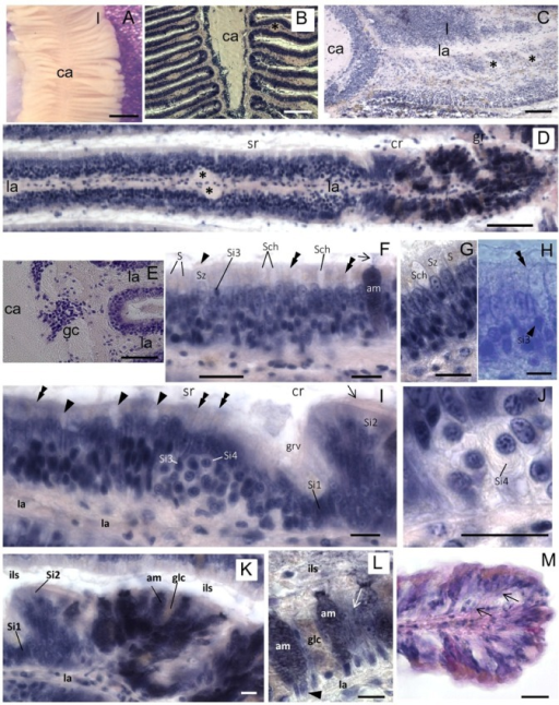 "Osphradium histology. (A) Stereo microscope image of the osphradium that shows the bipinnate structure characterized by lamellae (l) radiating from the central axis (ca); (B) Frontal section of the osphradium showing the different cell density in the organ; (C) Sagittal section showing the lamellar axis (la) containing the lamellar nerve that sends a branch down (asterisks) into digitiform processes; (D) Frontal section of a single lamella showing its proximal-distal polarization characterized by sensory (sr), ciliated (cr) and glandular (gr) regions. Asterisks indicate the enlarged region in the lamellar axis (la) corresponding to the lamellar nerve branch observed in C; (E) Frontal section at the base of the lamella showing the lack of cell nuclei in the central axis and clusters of ganglionic cells (gc) at the base of the lamella; (F) Multilayered epithelium of the sensory region where S, Sz, Si3, Sch and am cells may be tentatively identified on the base of their morphology and position. The arrowhead indicates cilia on the apical portion of Sz cells. The arrow points to cell products secreted on the lamellar surface. Thin fibers running toward the epithelium surface can be glimpsed (double arrowheads); (G) Detail of the sensory epithelium in which yellowish granules in apical cytoplasm of S cells can be observed. Note the absence of these granules in Sz cells; (H) Apical process (double arrowhead) of a sensory Si3 cell (arrowhead) contacting the epithelium surface is shown; (I) Frontal section showing the lamellar groove (grv) that separates the sensory and ciliate regions. In the distal portion of the sensory region, Si4 cells can be observed. Sensory dendrites are regularly intercalated to epithelial cells on the apical surface of the epithelium (double arrowheads). Arrowhead points to Shc mucous cells. At the base of the groove, putative Si1 cells can be identified. Arrow points to the cilia of Si2 cells in the ciliated region; (J) Detail showing a Si4 cell with its shape at ""halved onion""; (K) Image of neighboring ciliated and glandular regions showing the high concentration of gland cells in the latter; (L) Detail of the glandular region in which two different types of gland cells can be distinguished on the base of their hematoxylin staining: well-stained gland cells (am) and cells with low affinity for hematoxylin (glc). The nuclei are visible at the cell base (arrowhead). Gland cells secrete their products in the interlamellar space (ils). Among glands, support epithelial cells are present (arrow); (M) Frontal section of the lamellar tip where a different cell distribution can be observed. Thin fibers coursing from the lamellar axis to the epithelium surface are observed among epithelial cells (arrows). Bars: A = 500 μm; B = 150 μm; C = 100 μm; D, E = 50 μm; F, G, I–L = 10 μm; H = 5 μm; M = 25 μm."
