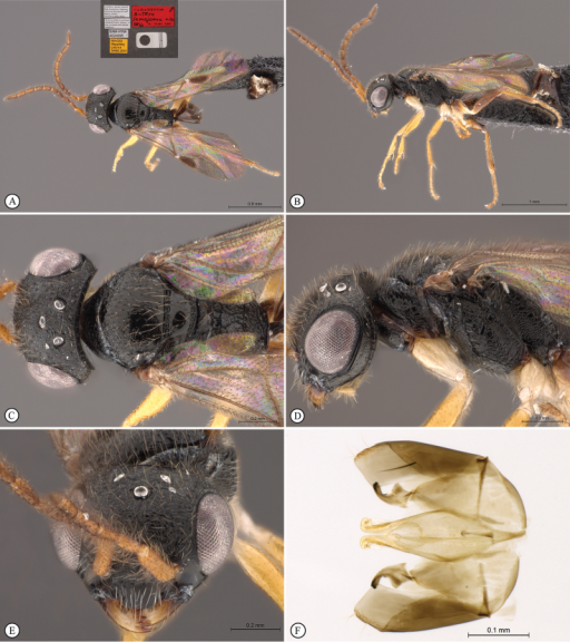 Anteonsemajanna Olmi, Copeland & Guglielmino, 2015. Paratype male from Uganda, Kibale National Park. A habitus, dorsal view B habitus lateral view (inset: data labels) C head, mesosoma dorsal view D head, mesosoma lateral view E head, anterior view F male genitalia (slide mounted).
