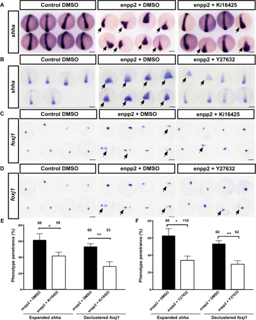 Pharmacological blocking of lpa1–3 or Rho/ROCK signalling rescue enpp2 overexpression induced midline phenotype.Representative WISH images of shha (A,B) and foxj1 expression (C-D) at 90% epiboly of enpp2 overexpressing embryos treated with the lpa1–3 antagonist Ki16425(A,C) and Rho/ROCK signalling inhibitor Y27632 (B,D). Enpp2 overexpressing embryos display expanded expression of shha (A,B) and foxj1 (C,D) illustrated by pointed in arrows. Quantifications of the of shha expression domain in enpp2 overexpressing embryo following vehicle or Ki16425 (E) or Y27632 treatment (F). The phenotype penetrance following enpp2 injection and Ki16425 treatment and Y27632 were measured at 90% epiboly (E,F). (E,F) The sample size (n) is stated as numerical value above each bar from at least two independent experiments. Data are mean ± SEM. Statistical analysis was established by t-test; *P < 0.05; **P < 0.01. n indicated above bars.