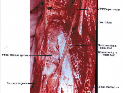 Fibular Collateral Ligament Peroneus Longus Muscle Co Open I