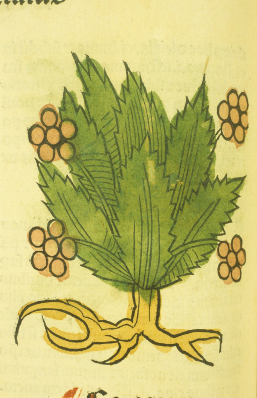 <p>Hand-colored woodcut of the plant.</p>