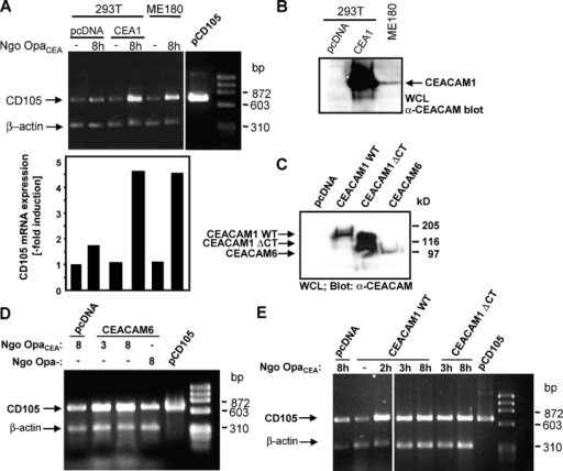 CEACAM1 and 6 engagement stimulate CD105 expression. (A) Control-transfected (pcDNA) or CEACAM1 (CEA1)-expressing 293T or ME-180 cells were left uninfected or were infected for 8 h with OpaCEA N. gonorrhoeae (Ngo Opa−CEA). After RNA isolation, fragments of CD105 and β-actin mRNA were coamplified by RT-PCR (top), and the ratio of both signals from each sample was determined by densitometry (bottom). Bars represent the fold induction of infected compared with uninfected cells. A plasmid encoding full-length CD105 served as a positive control (pCD105). (B) Expression of CEACAM1 by the cells used in A, as analyzed by Western blotting of whole cell lysates (WCL) with mAb α-CEACAM. (C) Expression of CEACAM1 WT, CEACAM1 ΔCT, and CEACAM6 by the cells used in D and E (analyzed as in B). (D) Transfected 293T cells were infected for the indicated times (in hours) with Ngo OpaCEA or nonopaque gonococci (Ngo Opa−). CD105 mRNA levels were detected as in A. (E) Transfected 293T cells were infected for the indicated times with Ngo OpaCEA. CD105 mRNA levels were detected as in A.