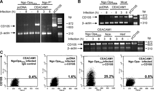 CEACAM engagement by human pathogens triggers up-regulation of CD105 mRNA and protein levels. (A) Control-transfected (pcDNA) or CEACAM1-expressing 293T cells were left uninfected or were infected with OpaCEA N. gonorrhoeae (Ngo OpaCEA) or piliated N. gonorrhoeae (Ngo P+) for the indicated times. After RNA isolation, fragments of CD105 and β-actin mRNA were coamplified by RT-PCR. A plasmid encoding full-length CD105 served as a positive control (pCD105). (B) 293T cells transfected as in A were left uninfected or were infected with Ngo OpaCEA, M. catarrhalis (Mcat), N. cinerea (Ncin), or H. influenzae (Hinf) for the indicated times. CD105 mRNA levels were analyzed as in A. (C) 293T cells transfected as in A were left uninfected or were infected as indicated for 14 h. Cells were detached, stained with monoclonal α-CD105 or control mouse IgG (control), and analyzed by flow cytometry. FSC-H, forward scatter; FL1-H, intensity of the signal detected in fluorescence channel 1.