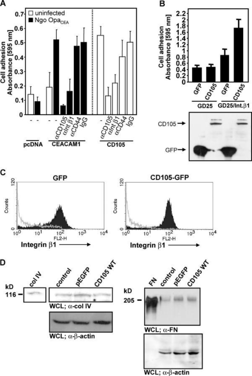 CD105 cooperates with integrin β1 to mediate enhanced cell adhesion. (A) 293T cells were transfected with control vector (pcDNA), CEACAM1, or CD105 WT; infected (black bars) or left uninfected (white bars) for 8 h with Ngo OpaCEA; and used in adhesion assays in the absence or presence of mAbs against CD105, integrin β1 (αIntβ1), CD44, or with control mouse IgG. (B) Integrin-deficient fibroblasts (GD25 cells) or GD25 cells expressing human integrin β1 were transfected with CD105-GFP or the empty vector control (pEGFP) and were used in adhesion assays. Bars represent means ± SD of five (A) or eight wells (B). Bottom panel shows Western blotting of whole cell lysates with anti-GFP antibody. (C) 293T cells transfected as in B were stained with anti–integrin β1 antibodies (clone P5D2) and phycoerythrin (PE)-conjugated secondary antibodies (black). Controls (gray lines) were stained with isotype-matched control IgG. Upon gating of GFP-positive cells, phycoerythrin-derived fluorescence was measured in 10,000 transfected cells. A representative experiment that was repeated three times is shown. FL2-H, intensity of the fluorescence signal detected in channel 2. (D) 293T cells were transfected as in C or were left untransfected (control). 2 d later, whole cell lysates as well as purified collagen type IV (Col) and fibronectin (FN) as positive controls were analyzed by Western blotting with antibodies against either collagen type IV (top left) or fibronectin (top right). After stripping, the membrane was developed with anti–β-actin antibodies demonstrating equal loading (bottom).