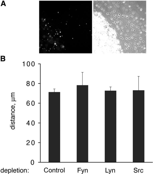 Progenitors do not require Lyn for PDGF-mediated migration. Oligodendrocyte progenitors were concentrated in agarose drops and stimulated to migrate using PDGF. (A) Micrograph depicting Lyn-deficient cells (YFP+) migrating on FN in response to 1 ng/ml PDGF. (left) Anti-GFP; (right) phase. (B) Migration of SFK-deficient cells on FN in response to 1 ng/ml PDGF at day 2. Each bar depicts the mean migration distance of all YFP+ cells that have exited drops. Error bars represent SD.