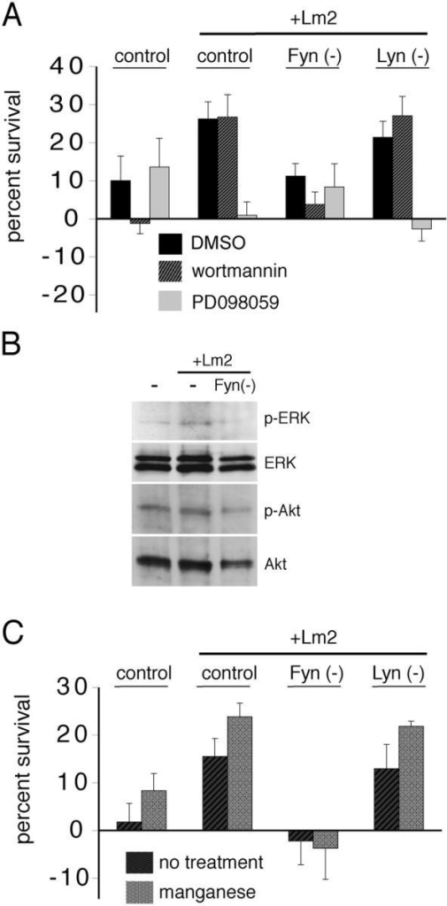 Fyn is required for a laminin-mediated switch in NRG signaling and for integrin activation to increase survival. (A) Survival of newly formed SFK-depleted oligodendrocytes in the presence of the PI3K pathway signaling inhibitor wortmannin (hatched bars), the MAPK pathway signaling inhibitor PD098059 (light gray bars), or DMSO control (black bars). Lm2 switches NRG-mediated survival from PI3K-sensitive to PI3K-insensitive, and Fyn depletion, but not Lyn depletion, abolishes this effect. Error bars represent SD. (B) Oligodendrocytes treated for 30 min with NRG. PhosphoERK is enhanced by Lm2 in control cells, but not in Fyn(−) cells. (C) Survival of newly formed SFK-depleted oligodendrocytes in the presence (light gray bars) or absence (dark gray bars) of integrin-activating manganese. Integrin activation using manganese increased NRG-mediated survival, and this increase was lost in the absence of Fyn, but not of other SFKs. Error bars represent SD.