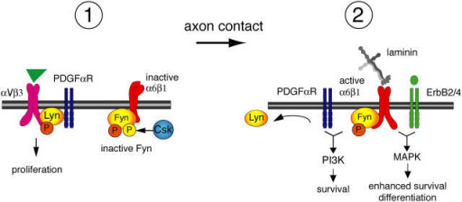 Model for integrin regulation of SFK activity during oligodendrocyte lineage progression. In oligodendrocyte progenitors, Lyn is associated with the PDGFαR–αVβ3 integrin complex and contributes to proliferation signaling. Catalytic Y397 of Lyn (orange) is phosphorylated after αVβ3 integrin ligation. Fyn is maintained in the inactive state by Csk phosphorylation of Fyn-inhibitory COOH-terminal Y531 (yellow). After axonal contact and ligation by α6β1 of the α2 chain laminins expressed in myelinating axon tracts, Lyn dissociates from the integrin–growth factor complex and Csk is downregulated, reducing Fyn phosphorylation at Y531 and promoting Fyn activity. Active Fyn–α6β1 complexes can then trigger PI3K and MAPK signaling, depending on the ligand binding of PDGFαR and ErbB2/4 receptors, respectively, thereby promoting oligodendrocyte survival, differentiation, and myelin formation.