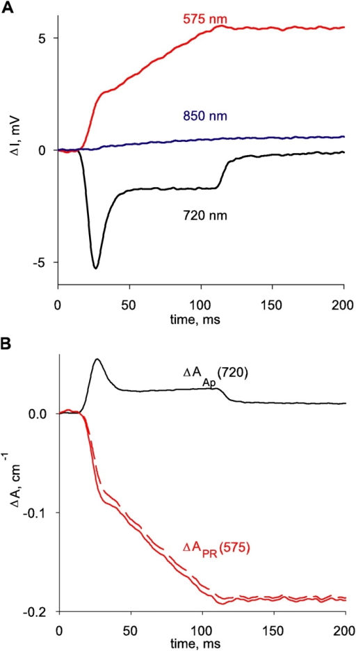 Initial analysis of optical records. (A) Changes in transmitted light intensity. I, simultaneously measured at three wavelengths as indicated. (B) Dye-related changes in absorbance at 575 and 720 nm, derived from intensities in A. Record ΔAAp(720) is derived (according to Eq. 4) by linear combination of ΔA(720) and ΔAintrinsic(720), which in turn is derived from ΔI(550), blue in A, and I(550). ΔAPR(575) (dashed) is derived according to Eq. 6, by linear combination of A(575), AAp(575), and Aintrinsic(575) (in turn evaluated by Eq. 5). AAp(575) is calculated as the sum of a resting component (second term, right hand side of Eq. 2) and a change ΔAAp(575), derived by scaling ΔAAp(720) by 0.25. The record in red, continuous trace, is ΔA(575) after correction for the intrinsic absorbance change (i.e., the total change in absorbance due to both dyes). It is very similar to ΔAPR(575), which stresses that the interference between the two dyes is almost negligible. Identifier 1723, vertical diameter = 73 μm, [phenol red]= 2.20 mM, [ApIII]= 0.86 mM, pH 6.35.