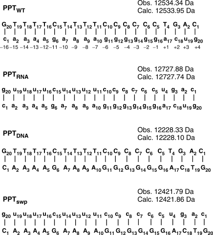 PPT-containing duplexes. PPTwt: wild-type hybrid from HIV-1 subtype A; PPTRNA: both strands made of RNA; PPTDNA: both strands DNA; PPTswp: sequences of the RNA and DNA strands swapped. Sequences are numbered from 5′ to 3′, and biological numbering relative to the scissile −1g/+1a phosphodiester bond is indicated. Nucleotides in uppercase denote DNA, and lowercase denotes RNA. The monoisotopic mass observed by nanospray-FTICR for each duplex construct is reported together with the respective mass calculated from sequence (see Materials and methods section).