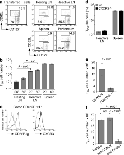 CD4+ TEM cells rapidly migrate to reactive lymph nodes in a CD62P-dependent, CXCR3-independent manner. Adoptively transferred TCR transgenic OVA-specific naive T cells were primed by immunization with an s.c. injection of 106 OVA-pulsed syngeneic LPS-matured DCs. 3 wk later, memory CD4+ T cells were enriched from spleens and lymph nodes, and 3 × 106 T cells were injected i.v. into mice in which reactive lymph nodes had been induced 24 h before by injection of 106 syngeneic LPS-matured DCs. Some mice received also an i.p. injection of thioglycolate 48 h before T cell transfer. (a) Relative proportion of DO11.10 CD4+ TCM (CFSE−KJ1-26+CD62L+CD127+) and TEM (CFSE−KJ1-26+CD62L−CD127+) cells in the population before transfer and in the indicated organs 12 h after transfer (percentages are shown). (b) Absolute number of DO11.10 CD4+ TEM (KJ1-26+CD62L−CD127+) cells in reactive lymph nodes of mice 20 or 60 min after T cell transfer. (c) Expression of CD62P ligands and CXCR3 (black lines) on gated CD4+CD62L− TEM cells. The gray dashed lines represent background staining. (d) Percentages of TEM-like cells from wild-type and CXCR3−/− mice in reactive lymph nodes and spleen 24 h after i.v. injection. T cells were mixed at a ratio of 1:1, and 107 cells were injected in each mouse in which a reactive lymph node was produced by s.c. injection of 3 × 106 mature DCs in the footpad. (e) Absolute number of OT-II CD4+ TEM (Ly5.1+CD62L−CD127+) cells in reactive lymph nodes of wild-type C57BL/6 or CD62P/E double-deficient mice. (f) Absolute number of DO11.10 CD4+ TEM (KJ1-26+CD62L−CD127+) cells in reactive lymph nodes of mice 12 h after injection of blocking antibodies to CD62P or CD62E or of isotype-matched control antibodies. Data are the means ± SD of two or three independent experiments each performed with two mice per condition. p-values were obtained with the Student's t test.