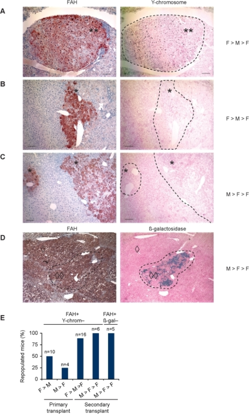 Marker loss in livers repopulated with fusion-derived hepatocytes.(A–D) Marker analysis was performed on sequential liver sections from serially transplanted mice. The transplantation scheme (F>M>F or M>F>F) is indicated. FAH+ nodules (brown) either co-expressed the Y-chromosome (black dots) (A) or were devoid of Y-chromosome staining (B and C). Double asterisks (**) indicate double positive nodules (FAH+ and Y-chromosome+) whereas single asterisks (*) indicate single positive nodules (FAH+ and Y-chromosome−). (D) ß-gal (blue staining) is expressed in a single FAH+ nodule but is absent from peripheral FAH+ tissue. Double diamonds (◊◊) indicate double positive tissue (FAH+ and ß-gal+) and single diamonds (◊) indicate a single positive nodule (FAH+ and ß-gal−). Scale bars are 200 µm. (E) Percentage of transplanted mice containing FAH+ fusion-derived nodules that lack Y-chromosome or ß-gal is shown.