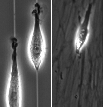 1D cell migration (left) resembles 3D migration on a matrix (right).