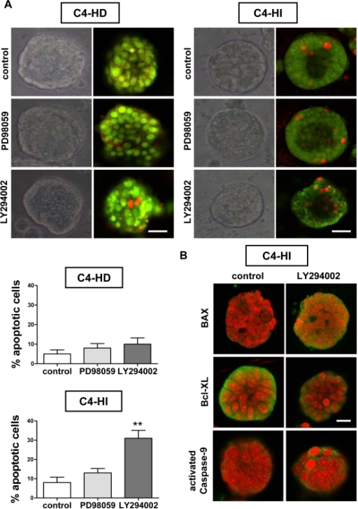 Cell death induced by LY294002 in C4-HI cancer cells involves intrinsic BAX/mitochondrial/caspase-9 apoptotic pathway.The 3D Matrigel culture system of primary C4-HI cancer cells reproduces the increased pro-apoptotic effect of the PI3K inhibitor observed in vivo. A. Top. Phase contrast microscopy showing a representative C4-HD (left) and C4-HI (right) cell cluster cultured for 96 hrs on Matrigel and treated for the last 48 hrs with 10 µM PD98059, LY294002, or vehicle as control. Confocal images from a fluorescence microscope of acridine orange/ethidium bromide (AO/EB) staining was used to discriminate live from apoptotic cells. AO fluoresces green in live cells and EB fluoresces orange/red when intercalated with DNA in dead cells. Most C4-HI cell clusters on Matrigel exhibit a central lumen. In contrast, no C4-HD cell clusters possess a central lumen. A higher number of apoptotic cells in and around the central lumen of LY294002-treated C4-HI cells was also noted. Scale bar: 30 µm. Bottom. Quantification of the percentage of apoptotic cells per cluster, of four independent experiments with ten clusters in each. Data corresponds to the mean +/− SEM. LY294002 induces cell death in C4-HI cells; **:p<0.01 vs. control. B. Confocal images showing higher BAX and activated caspase-9 staining, and lower Bcl-XL staining in C4-HI cells treated with 10 µM LY294002. Nuclei were stained red with propidium iodide. Scale bar: 30 µm.